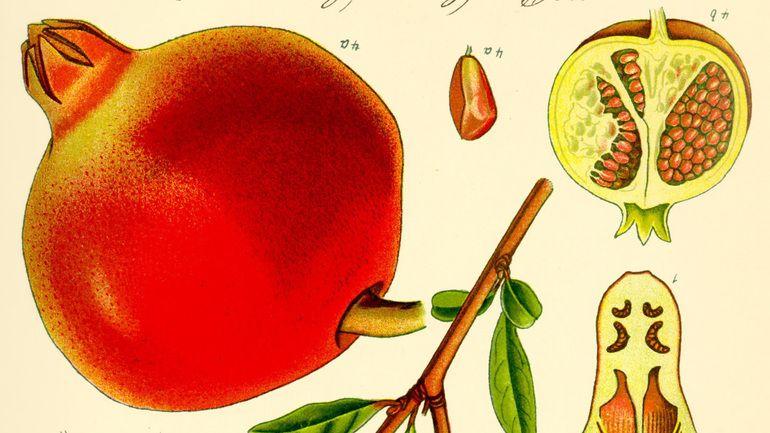 botanical illustration of a pomegranate
