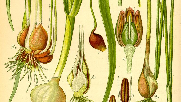 botanical drawing of onion